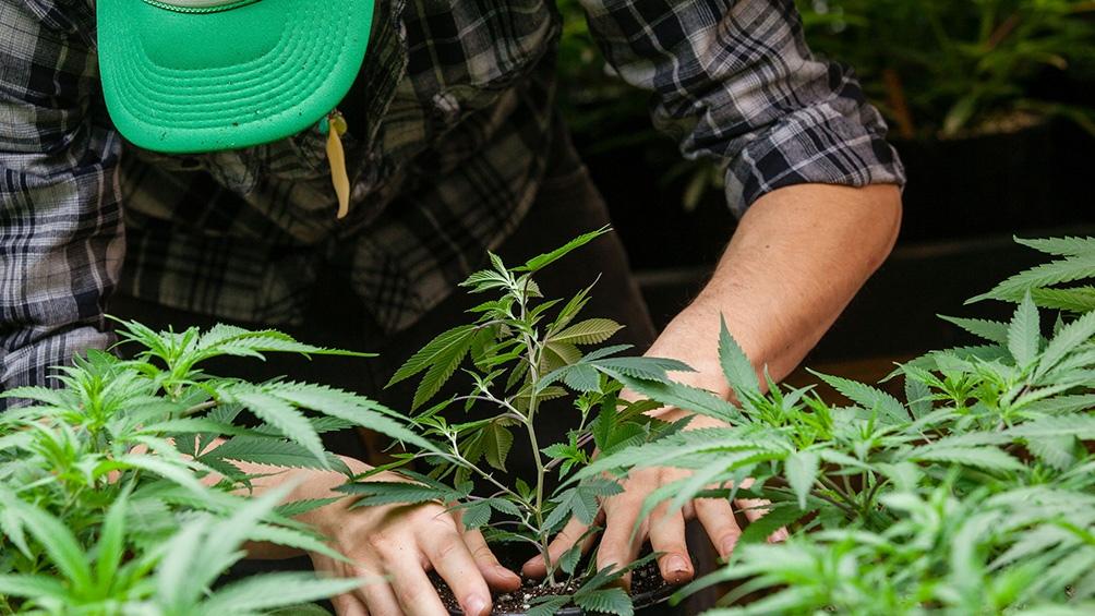 Chubut aprobó el cultivo y producción de cannabis para uso terapéutico