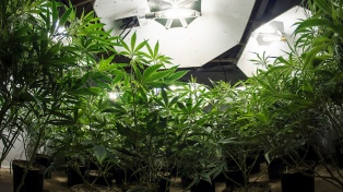 Cannabis sativa: del oscurantismo al acceso a un medicamento seguro