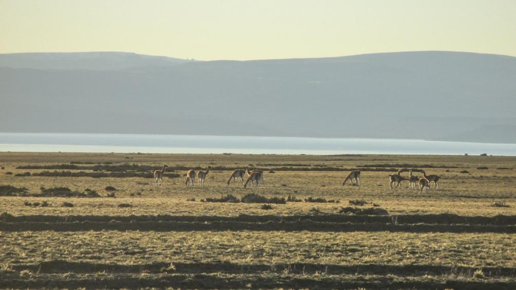 Una manada de guanacos al amanecer.