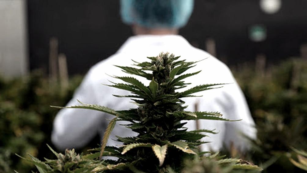 Logran un acuerdo público-privado para investigar y producir cannabis medicinal en el país