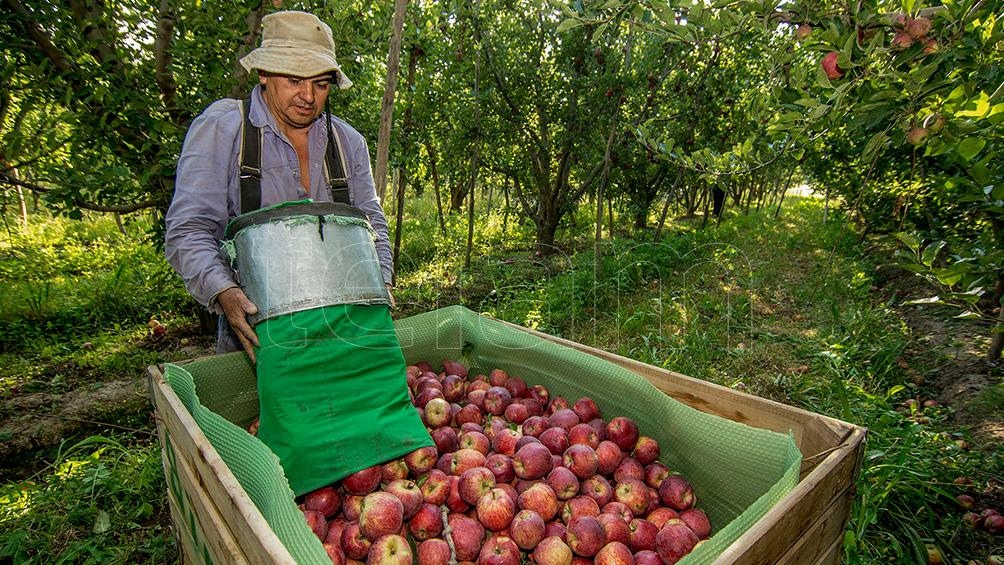 Temporada de cosecha de pera y manzana en Río negro