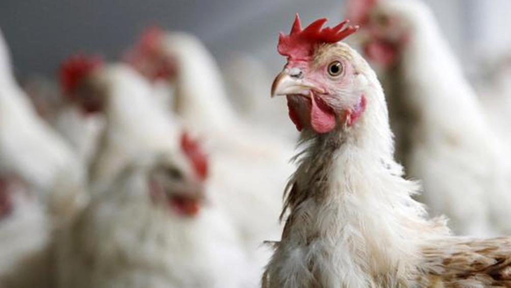 India ordenó el sacrificio de decenas de miles de aves de corral debido a la gran epidemia de gripe aviar.