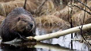 El Sur busca un modo sustentable de controlar la plaga de castores