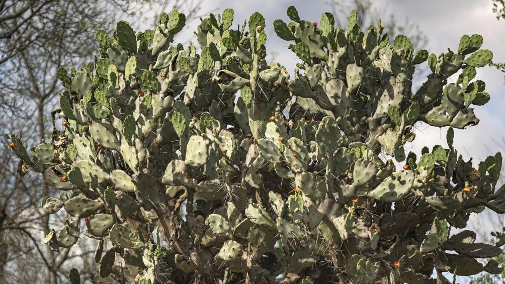 Además de árboles de madera dura, en el Parque hay distintas variedades de cactus.