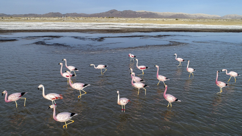 Los flamencos suman más de 30.000 ejemplares de las tres especies que hay en el país: el común, y las parinas (grande y chica).