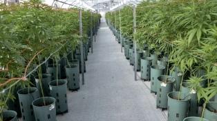 Comenzó en Jujuy la producción de aceite de cannabis