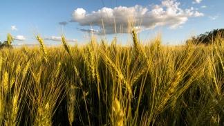 La superficie sembrada fue menos por la dura sequía que sufrió medio país.