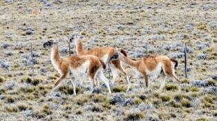 Desde los tehuelches y pese al extractivismo, aumenta la población de guanacos