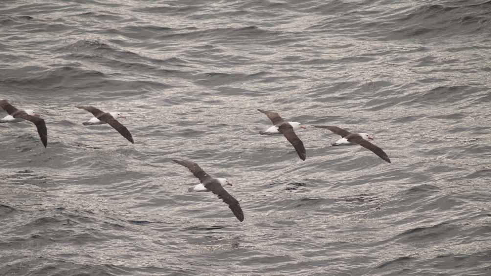 Namuncurá-Banco Burdwood II es Área de Importancia para la Conservación de Aves Marinas.