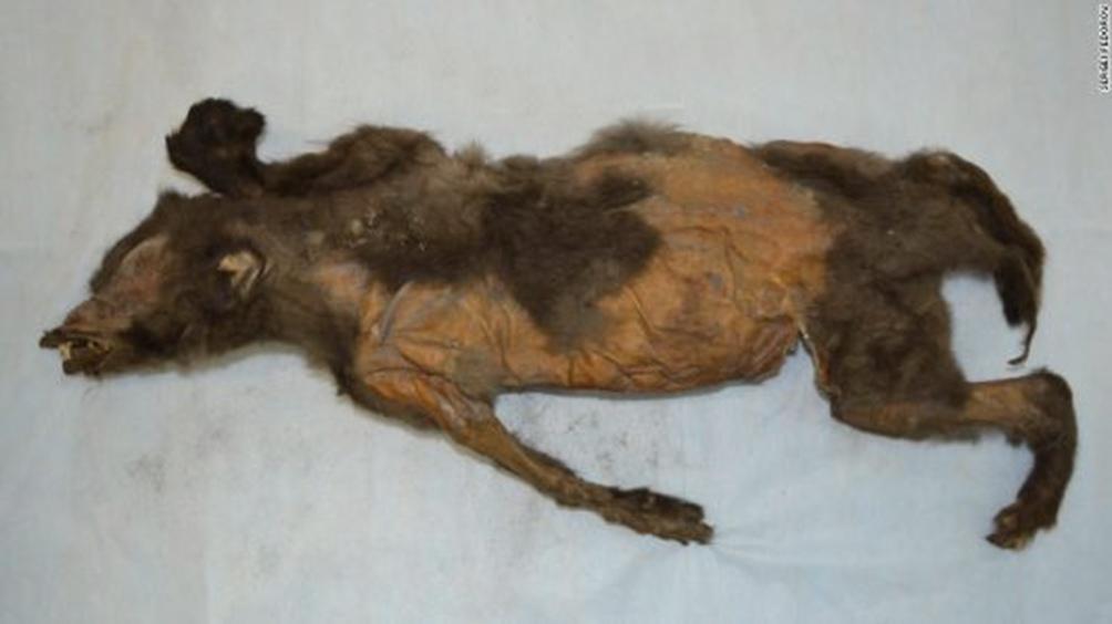 El cuerpo del rinoceronte está intacto en un 80%