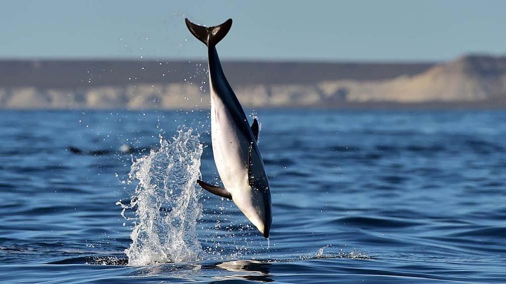 Los delfines pueden ser observados casi todo el año en los alrededores de Península Valdés
