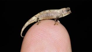 Así es el reptil más pequeño del mundo: cabe en la punta de un dedo y vive en Madagascar