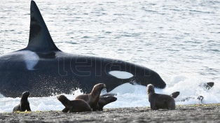 Comenzó la temporada de avistamiento de orcas en Península Valdés