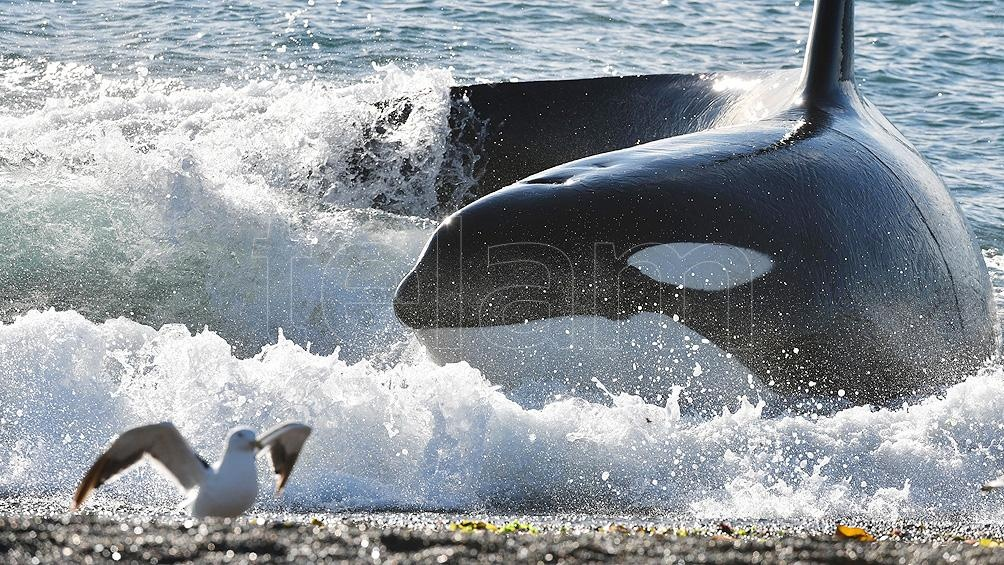 La temporada de orcas -al igual que el avistaje de ballenas- está considerado uno de los espectáculos más deslumbrantes del mundo.