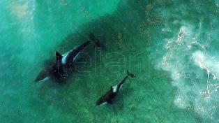 La temporada de orcas en Península Valdés comenzará a mediados de marzo