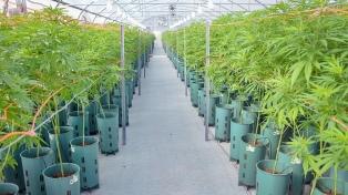 Avanza en el Senado el proyecto sobre cannabis medicinal
