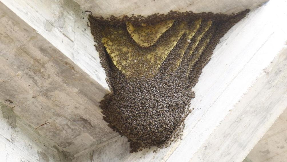 Las abejas, protagonistas del duelo de Reserva entre Central Córdoba y Estudiantes de Plata (Foto: @cacc_sde)