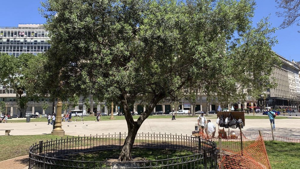 El árbol que plantó el entonces cardenal Bergoglio.