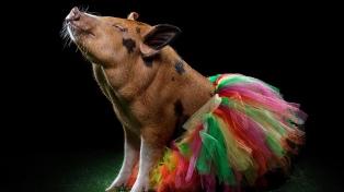 Cerdos mini pig, una nueva tendencia en adopción de mascotas exóticas