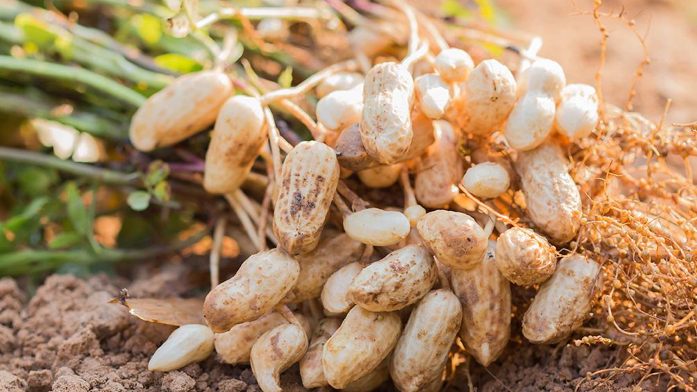Crece el cultivo de maní y especialistas plantean la necesidad del cuidado del suelo