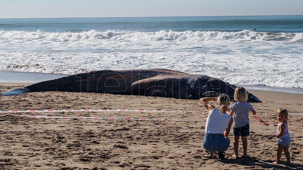 La ballena fue arrastrada por la corriente hacia la orilla del balneario Guillermo, a 400 metros del Faro de Punta Mogotes.
