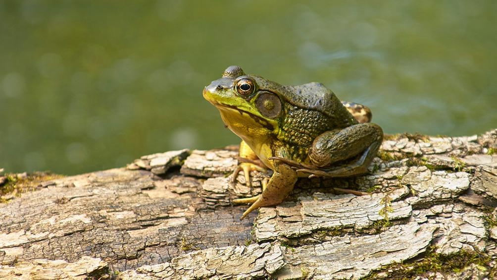 Los anfibios son 'especies centinelas', son capaces de acumular contaminantes en sus tejidos y ser utilizada para detectar riesgos para los seres humanos.
