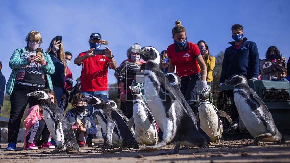 Pingüinos de Magallanes fueron rescatados y devueltos al mar en Mar del Plata