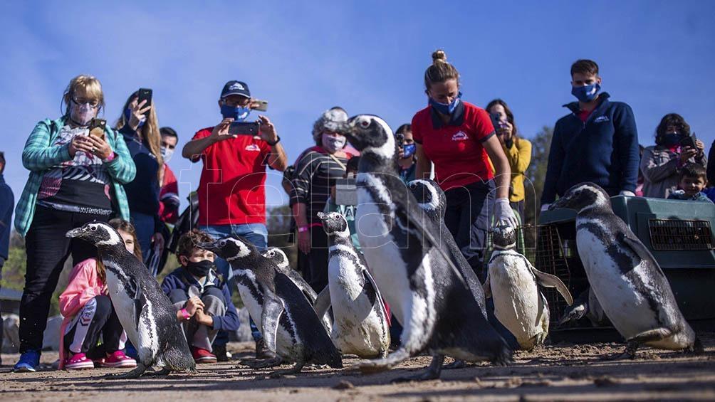 En total fueron doce ejemplares de pingüinos de Magallanes