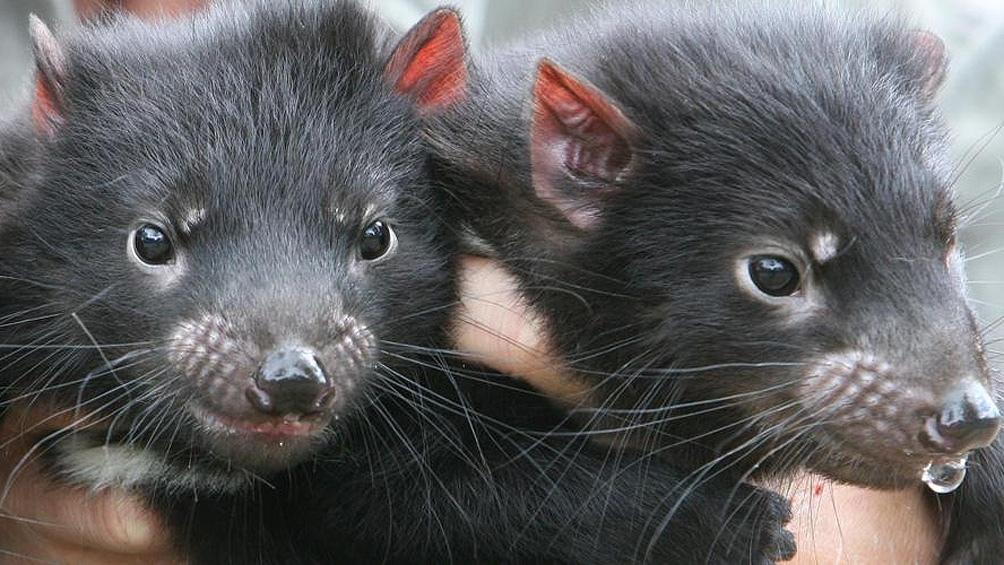 En Australia continental se especula que estos mamíferos fueron exterminados por manadas de dingos, perros salvajes, hace unos 3.000 años.