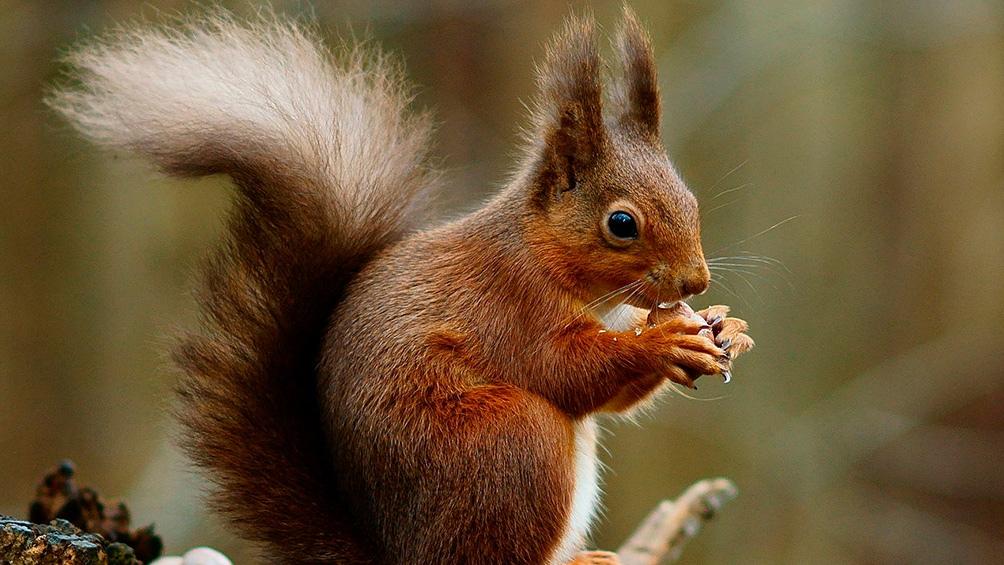 Las ardillas de vientre rojo pueden comerse cables de telecomunicaciones, atacar sembradíos y transmitir leptospirosis.