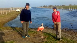 Un flamenco de una especie amenazada fue rescatado y liberado en un bañado de la provincia