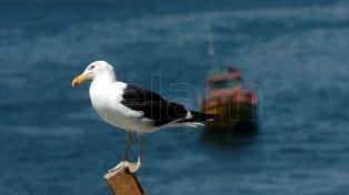 Piden garantizar pesquerías amigables para los albatros, amenazados por operaciones en el mar