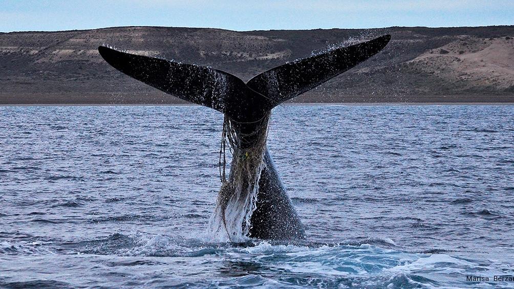 """De acuerdo a ese relevamiento """"se detectaron heridas de origen posiblemente antrópico en 141 ballenas""""."""