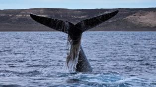 """Aumenta el número de ballenas """"enmalladas"""" con redes y sogas por la actividad pesquera"""