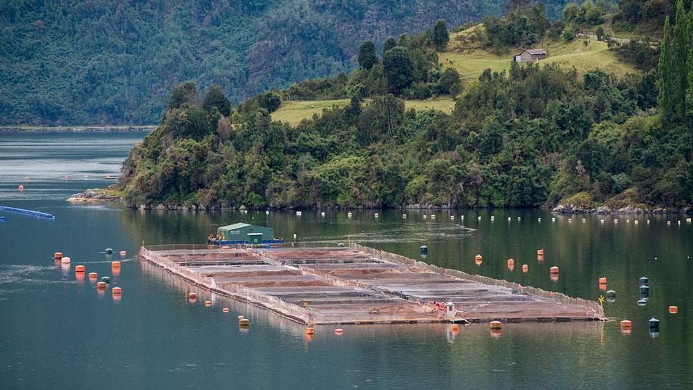 La última crisis ambiental causada por esta industria provocó la muerte de 37 mil toneladas de salmones.