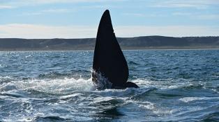 Las ballenas, protagonistas en Puerto Madryn