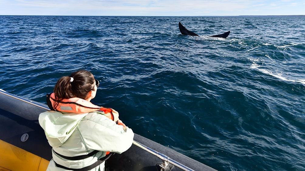 Las primeras ballenas se divisaron a fines de abril en Puerto Madryn y Puerto Pirámides. Foto Maxi Jonas.