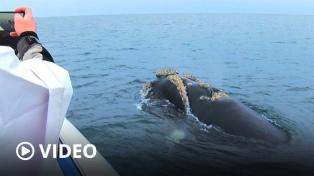 Puerto Madryn inauguró la temporada de ballenas, un espectáculo conmovedor y de atractivo turístico
