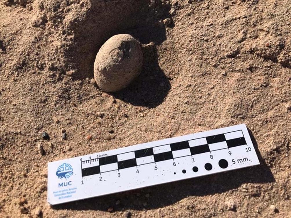 Los huevos hallados en la universidad son de ave y con una antigüedad de 85 millones de años del período cretácico.