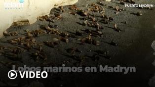 La experiencia inigualable de interactuar con los lobos marinos en Puerto Madryn