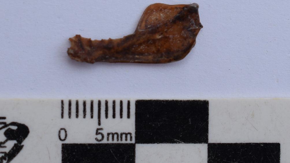 La rama mandibular de un vampiro de grandes dimensiones extinto fue encontrada en una madriguera ubicada al sur de Miramar.