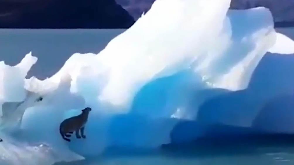 """El capitán de la embarcación dijo que al divisar el puma decidieron acercarse """"sigilosamente hasta unos 50 metros, para poder capturar las secuencias"""" de imágenes y videos que se viralizaron."""