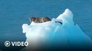 Turistas avistaron un ejemplar de puma sobre un témpano del Glaciar Upsala en Santa Cruz