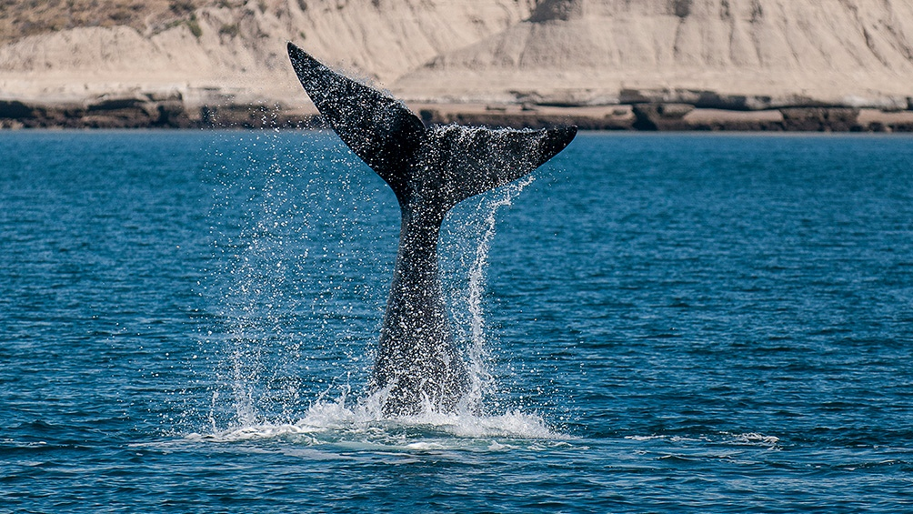 Aseguran que el acoso de las gaviotas a las ballenas les provoca estrés o