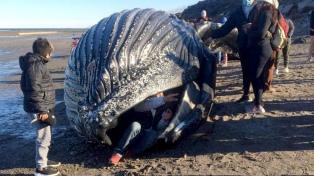 """Una """"ballena jorobada"""" apareció muerta y piden a la población que no se acerque"""