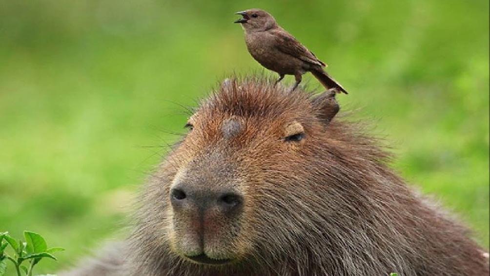 """""""Los carpinchos son animales que viven en zonas de humedales, son herbívoros y no representan ningún peligro para las personas u otras especies""""."""