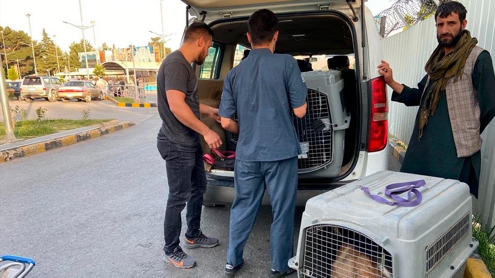 Los 140 perros y 60 gatos esperan ser evacuados de un refugio de animales abierto de Kabul. Foto: @Nowzad