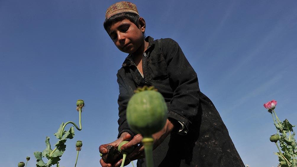 Muchos campesinos afganos ven una opción rentable en las adormideras. Foto: AFP
