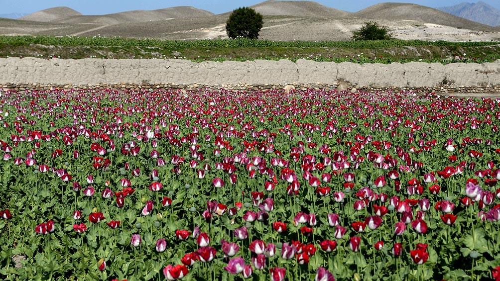 Adormidera es la planta de la que se obtiene el opio y de la que se usa su savia para la fabricación de morfina y heroína. Foto: AFP
