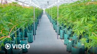 Kulfas: la industria del cannabis permitirá crear �10 mil puestos de trabajo o más�